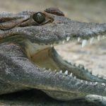 Si avvicina ad un coccodrillo per ammirarlo da vicino: 57enne uccisa e sbranata da un alligatore