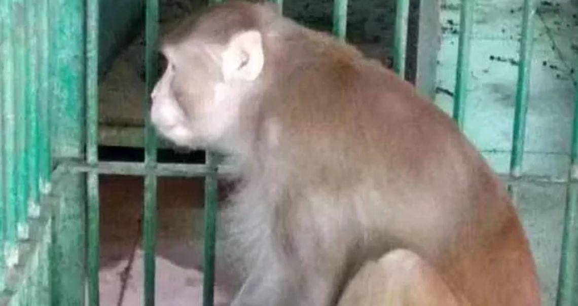 Scimmia ubriaca prigioniera in uno zoo dopo aver aggredito 250 persone: era dipendente da alcol