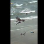 Uno squalo in volo, tra le grinfie di un falco: le incredibile immagini dalla Carolina del Sud - VIDEO