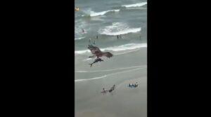 Uno squalo in volo, tra le grinfie di un falco: le incredibi