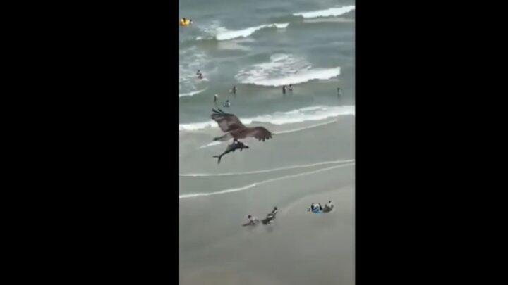 Uno squalo in volo, tra le grinfie di un falco: le incredibile immagini dalla Carolina del Sud – VIDEO