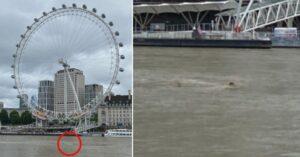 Uno squalo a Londra? L'incredibile avvistamento nel Tamigi