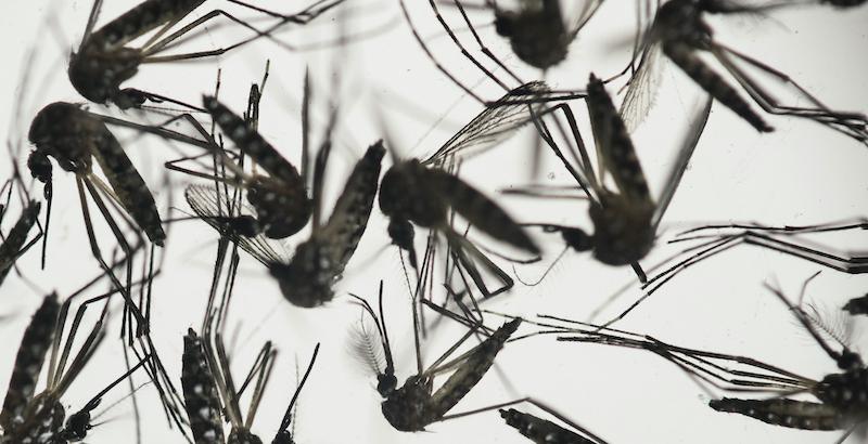 """Zanzare geneticamente modificate per combattere febbre gialla e dengue. Ma per alcuni esperti è un """"esperimento alla Jurassic Park"""""""